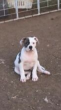 American bulldog puppies Canley Vale Fairfield Area Preview