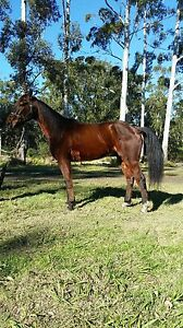 Big hansom gelding Hornsby Hornsby Area Preview
