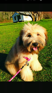 """Terrier cross """"Benji"""" WANTED! Gosnells Gosnells Area Preview"""