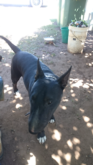 Wanted: Bullterrier female lost
