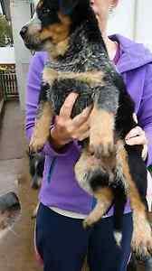 Wts blue heelers/ cattle dog Wedderburn Loddon Area Preview