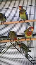 Handraised eastern Rosella babies Inverell Inverell Area Preview