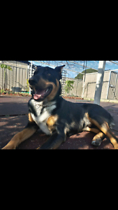 8 Month Rottweiler x Kelpie