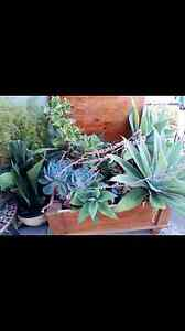 Healthy mature succulents - free  planter box! Coolaroo Hume Area Preview