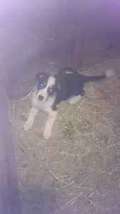 Male border Collie Veresdale Ipswich South Preview