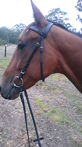 Standardbred mare Shadforth Denmark Area Preview
