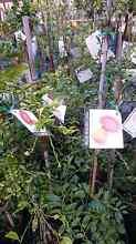 AVOCADO TREES   $60 MANGOS  $45 Midvale Mundaring Area Preview