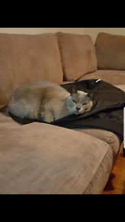Wanted: Lost burmese cat