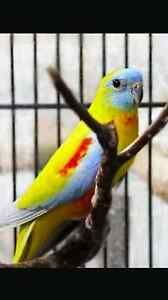 Wanted. Wtb a female turquoise parrot and female scarlet parrot Altona Meadows Hobsons Bay Area Preview