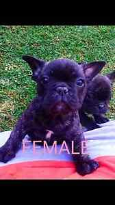 PEDIGREE FRENCH BULLDOG PUPS The Entrance Wyong Area Preview