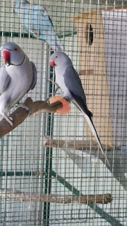 Baby tame firendly Indian ringnecks