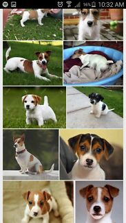 Wanting Jack Russell puppy Craigie Joondalup Area Preview