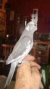 Cockatiel baby Batemans Bay Eurobodalla Area Preview