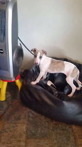 Whippet pup 13 weeks old vaccinated and microchiped etc Kurunjang Melton Area Preview