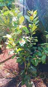 Lemon Trees 25cm Greenvale Hume Area Preview