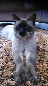 Missing Birman x DLH Male Boambee East Coffs Harbour City Preview