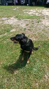 URGENT!! Male kelpie free to good home Lebrina Launceston Area Preview