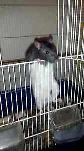 Pet rats (male) and cages Elizabeth Downs Playford Area Preview