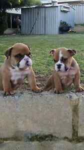 Aussie Bulldog Cannington Canning Area Preview