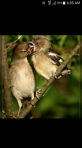 Finches CHAFFFINCHES  males greatest singers Kingsbury Darebin Area Preview