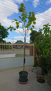 Mulberry Trees Thornlie Gosnells Area Preview