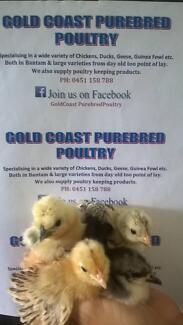 CHICKENS/CHICKS/CHOOKS/HENS/POINT OF LAY/PULLETS Mudgeeraba Gold Coast South Preview