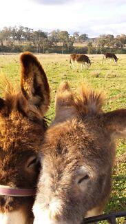 2 male donkeys Cessnock Cessnock Area Preview