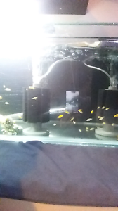 Electric yellow cichlid fry for sale Blacktown Blacktown Area Preview
