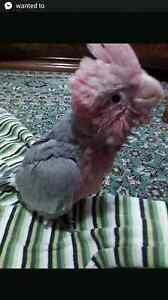 Missing baby galah Summer Hill Ashfield Area Preview
