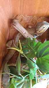 Bearded dragon and reptile enclosure Cleveland Redland Area Preview