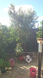 Ornamental plum Banksia Grove Wanneroo Area Preview