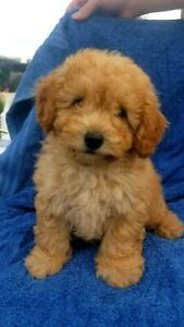 Toy Poodle male pup