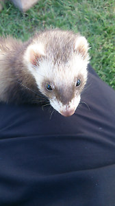 Baby ferrets Guyra Guyra Area Preview