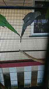 Turquoise grey Indian Ringneck $80 Albany Creek Brisbane North East Preview
