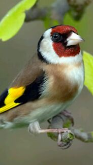 Finches goldfinches for sale Kingsbury Darebin Area Preview