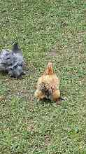 Chickens for sale Tuggerah Wyong Area Preview