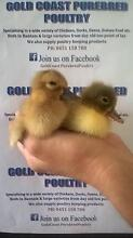 DAY OLD DUCKLINGS TO LAYING DUCKS Mudgeeraba Gold Coast South Preview