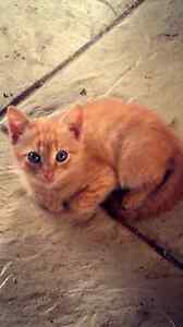Free kittens Redbank Plains Ipswich City Preview