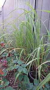 Lemon grass (3 for $10) Clarkson Wanneroo Area Preview