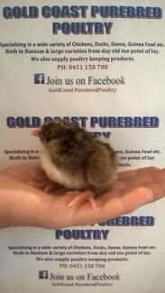 BARNEVELDER SEXED CHICKS 3 FOR $20=$6.66EA SUNDAY ONLY Mudgeeraba Gold Coast South Preview