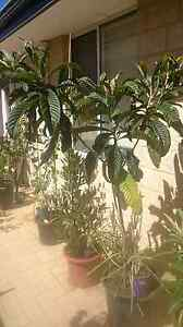 Loquat Trees Plants Banksia Grove Wanneroo Area Preview