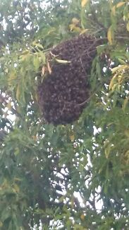 Bee swarm removal  East Maitland Maitland Area Preview
