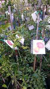 CITRUS TREES   $40-180 Midvale Mundaring Area Preview