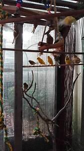 Canaries young an braiding pee Bankstown Bankstown Area Preview