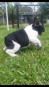 French bulldog Taree Greater Taree Area Preview