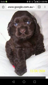 Wanted cocker spaniel Maitland Maitland Area Preview