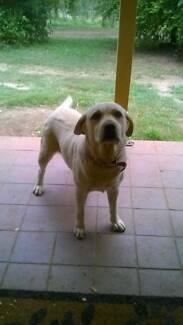 Beautiful 4 year old female labrador Maroochydore Maroochydore Area Preview