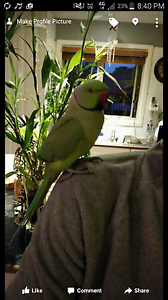 Green indian ringneck missing Atwell Cockburn Area Preview