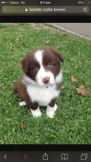 Border Collie - I am seeking a long haired brown female Wynnum Brisbane South East Preview