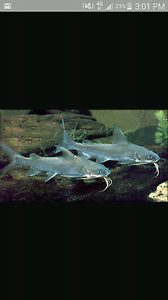 Wtb any size salmontail catfish for $20 Adelaide CBD Adelaide City Preview